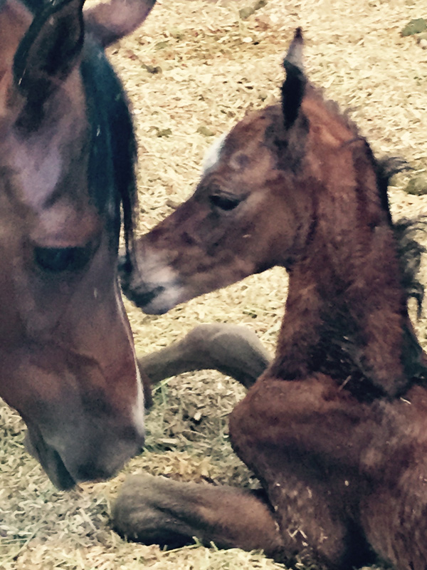 Santolina Farm Inc., - Mare and Foal